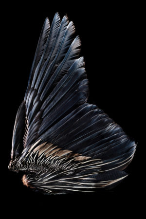 Southern Giant Petrel Wing