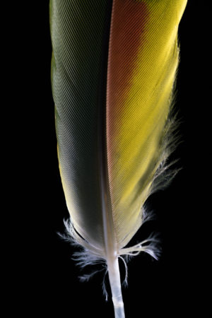 Blue Fronted Amazon Feather (Amazona Aestiva)